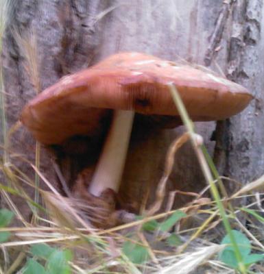 Нажмите на изображение для увеличения Название: Неизвестные грибы.jpg Просмотров: 696 Размер:58.2 Кб ID:43