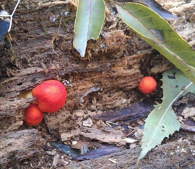 Нажмите на изображение для увеличения Название: Красный гриб.jpg Просмотров: 125 Размер:97.5 Кб ID:190